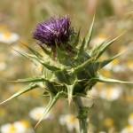 Silybium marianum (L.) Gaertner - Mariadistel - Asteraceae