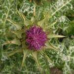 ostropestrec-kvet